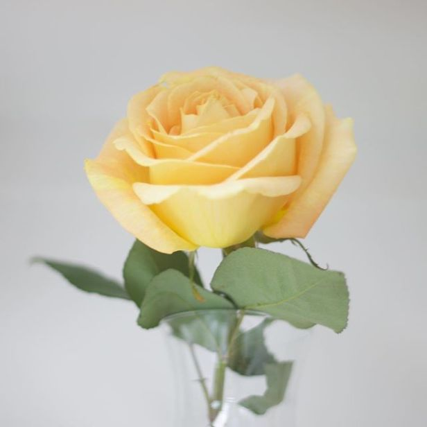 A Rose 1