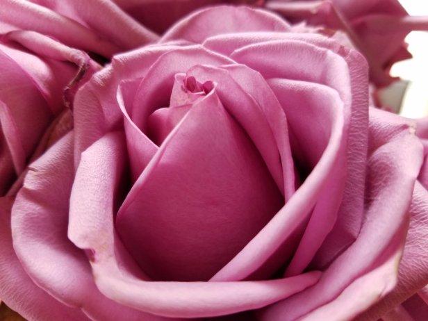 A Rose 5