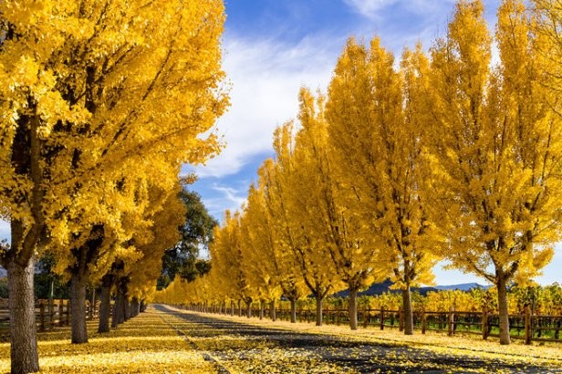 Yellow gingko trees line road in Napa Valley, California in autumn